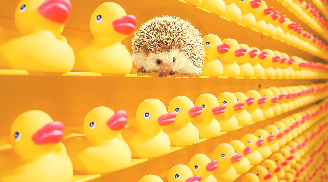 Hedgehog sitting on shelf full of rubber duckies